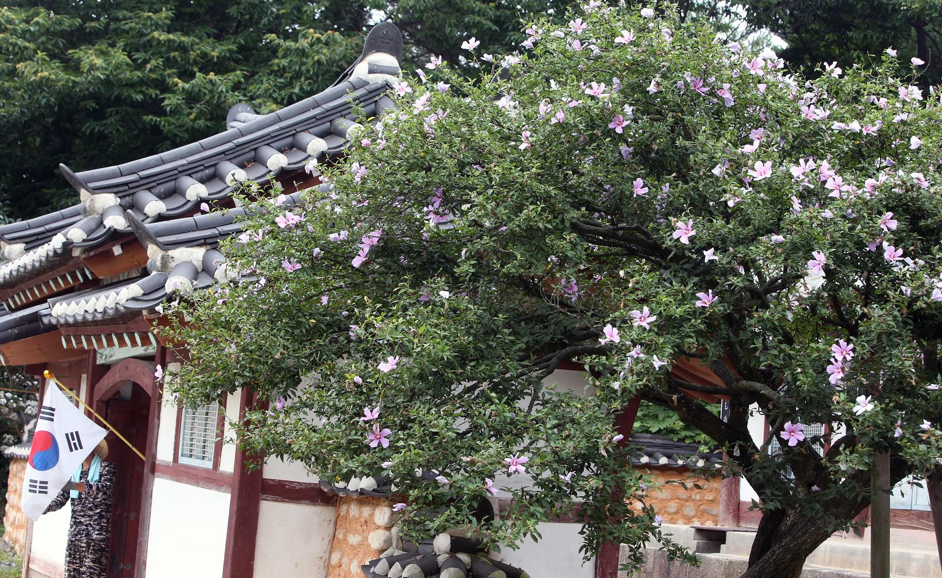 El árbol de la rosa de Sharon más viejo de Corea del Sur