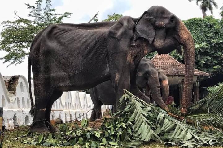 Elefante esquelético de 70 años desfila en festival de Sri Lanka