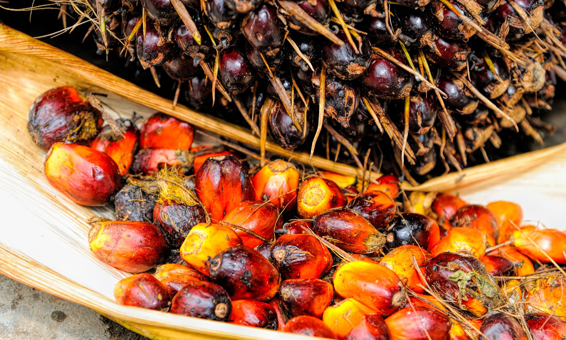 The Green War – Oil Palm vs Forests