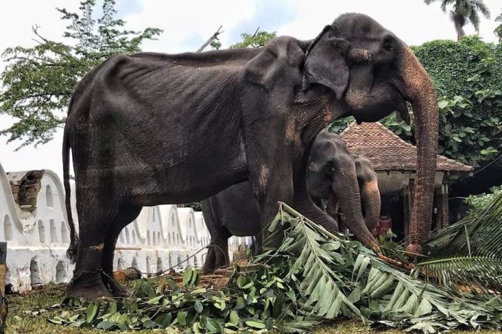 Skeletal 70 Year Old Elephant Paraded Around At Sri Lankan Festival