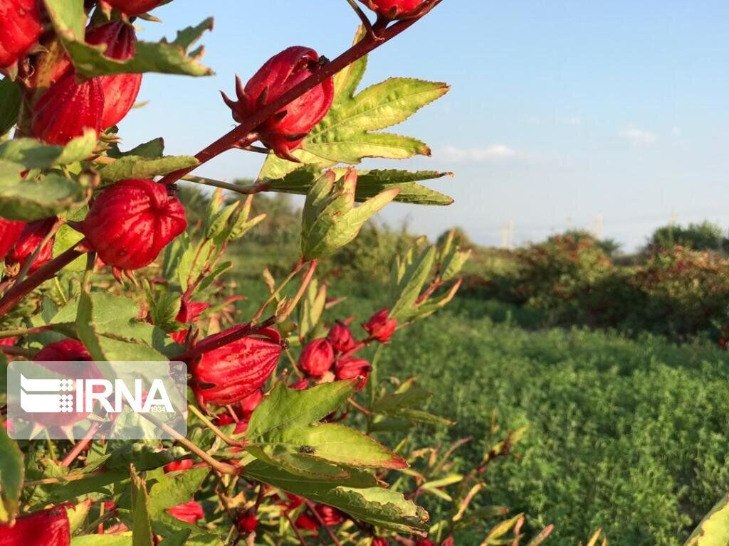 "Delgan, cradle of ""roselle"" in Iran"
